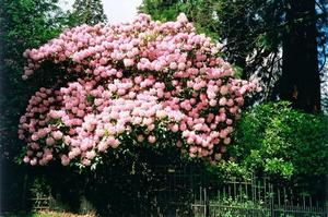 Mass of pink rhodo blossoms over grove fence