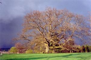 Sunlit oaktree against dark thunder sky, green grass