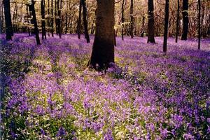 Bluebells covering wood grounds, oak trunk
