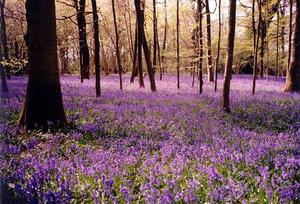 Forest floor covered in bluebells