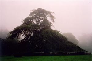 Cedar tree in the mist towards grove BP
