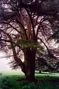 Cedar tree near grove on a misty day