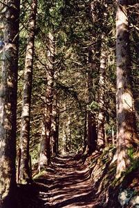 Path in a dense pine forest