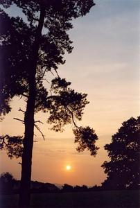 Soft orange sunset beyond pine tree BP