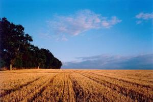 Straw field to horizon with forest on the left, blue sky