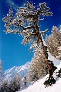 Tree with snow in front of white mountains, Saas F?©