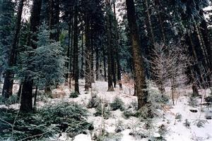 Blue pine tree forest in snow