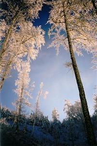 Sunlit frost covered trees