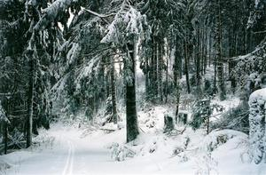 Cross country trail thru darl forest covered in snow
