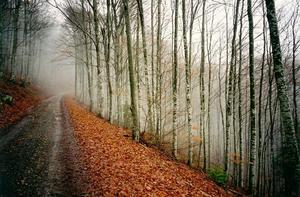 Path thru forest, leaves on ground, grey misty sky