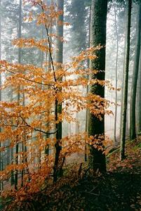 Orange leaved tree in front of misty pine forest