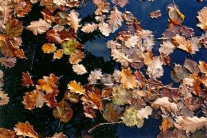 Fallen autumn leaves floating on water