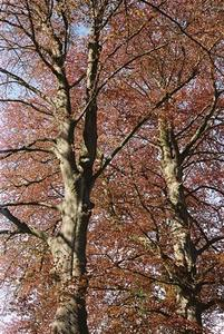 Beeches near Brockwood
