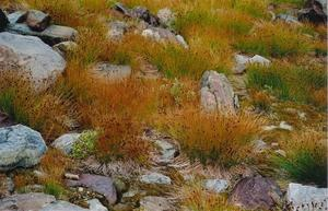 Alpine grasses