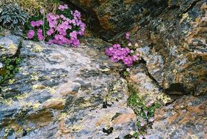 Alpine flowers on rocks