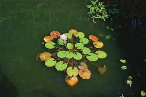 Circle of floating lily pads