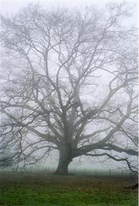 Fog clothing a bare oak tree