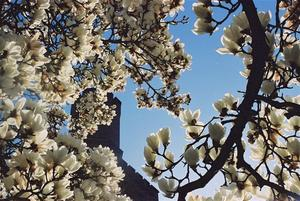 Magnolias and the tower at Brockwood
