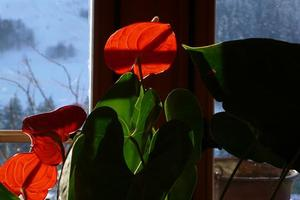 Anthuriums in the window