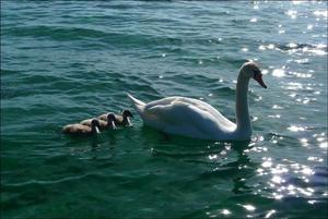 Swan family on Lake Geneva