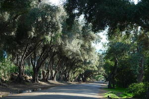Ojai olive alley