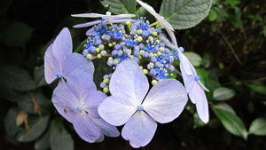 Hydrangea in the Grove