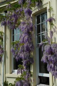 Wisteria at Brockwood