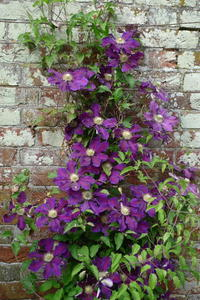 Clematis in the Rose Garden