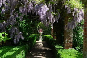 Wisteria in the Rose Garden