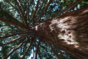 Sequoia in the Grove
