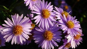 Asters at Haus Sonne