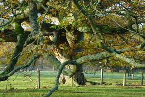 Old oak at Brockwood Park