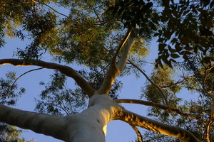 Eucalyptus at Pepper Tree Retreat