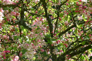 Cherry Tree at the Centre