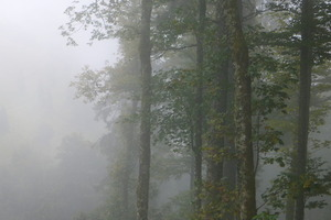 Misty Black Forest