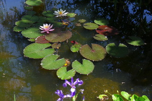 Water Lilies on Chalet Solitude Biotope