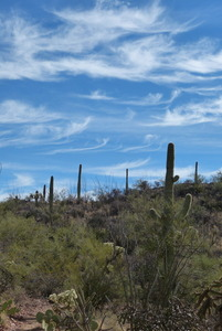 Saguaros outside Tucson
