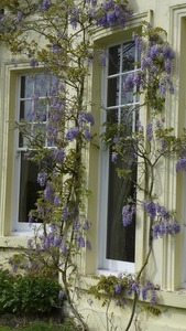 Wisteria outside the dining room at Brockwood
