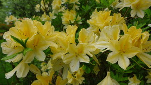 Azaleas in the Grove