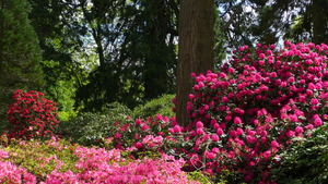 Azaleas and Rhododendrons in the Grove