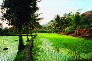 Rishi Valley rice field