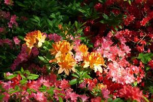 Close up of azaleas
