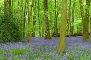 The Bluebell Woods