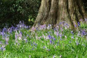 Bluebells in the Grove