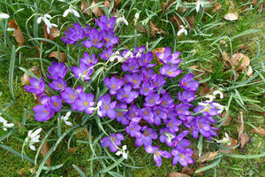 Centre crocus