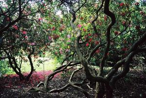 Rhododendrons in The Grove