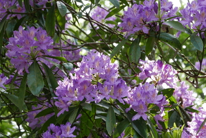 More Lilac Rhododendrons
