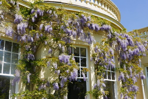 Wisteria outside the dining room