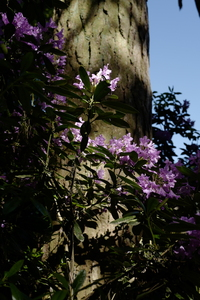 Rhododendron climbing a tree