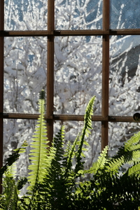 Winter ferns